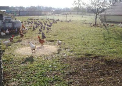 poulet-fermier-volaille-ferme-lyon